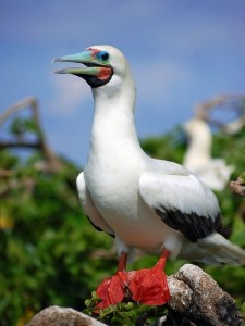 Red-footed booby bird of Belize