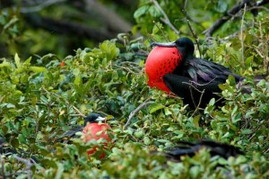 Frigate bird of Belize
