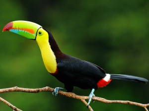 the national bird of belize