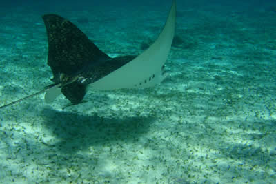 See Manta rays in the Belize Barrier Reef