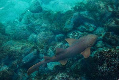 See nurse sharks in the Belize Barrier Reef